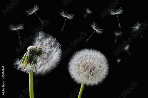 Foto op Aluminium Paardebloem Dandelion flower and flying seeds on a black background