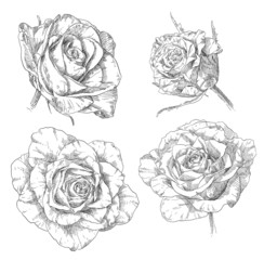 Hand drawing rose flower blossom