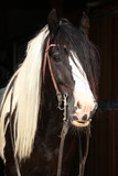 Gorgeous irish cob stallion on black background