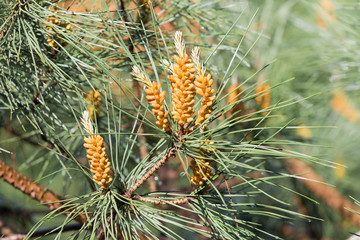 Needles of a pine tree (Pinus sylvestris)
