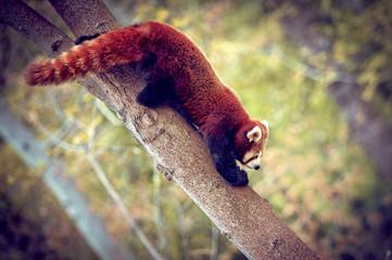 Panda roux qui descend d'un arbre