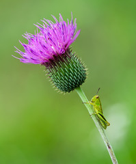 Young grasshopper sitting on a Thistle wildflower stem