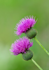 Thistle wildflowers against soft green background