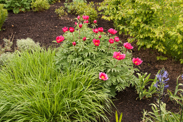 delicate single peonies in a bed of green