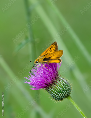 Skipper butterfly feeding on Thistle wildflowers
