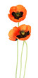Poppy flowers isolated on white