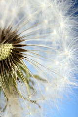 Beautiful dandelion with seeds on blue background © Africa Studio