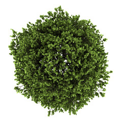top view of small-leaved lime tree isolated on white background