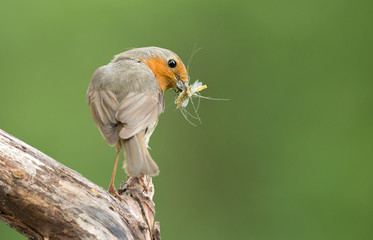 Robin with a catch
