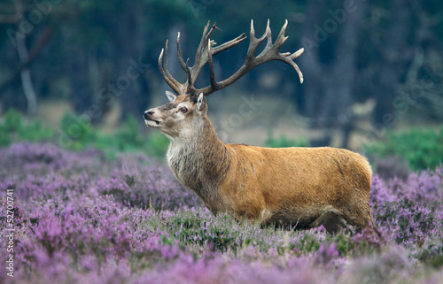 Deurstickers Hert Red Deer