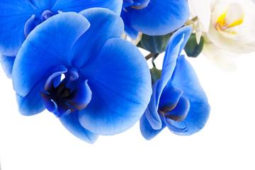 orquideas azul y blanca
