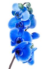 ramo de orquidea azul