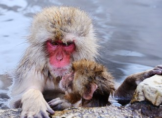 Japanese Macaques in Hot Springs