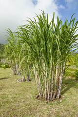 growing sugar cane plants on the island of Mauritius.