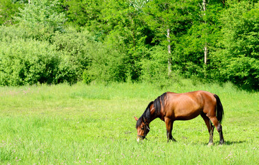 Horse grazing in the meadow