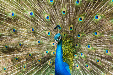 Portrait of Peacock with Feathers