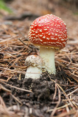 close up of fly agaric mushrooms growing in forest