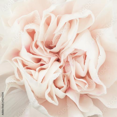 rozowy-kwiat-rozy-na-bialym-tle