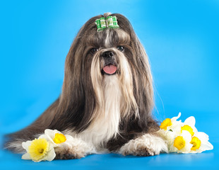 Dog of breed shih-tzu and flower