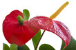 Anthurium (big red flower)