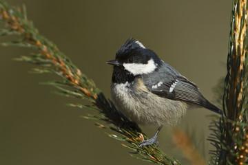 Coal tit bird  specie Periparus ater
