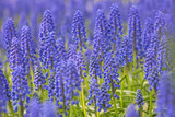 blue and green muscari blossom background