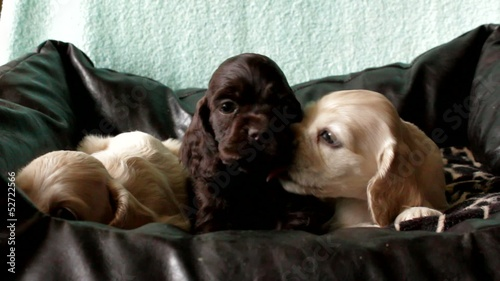 three puppies American Cocker Spaniel