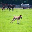 junges Fohlen rennt in der Pferdekoppel