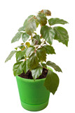 Houseplant a cissus rhombifolia in a green pot, is isolated