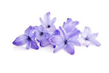 blue blossom of  hyacinth  flower