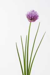 Herb chive including flower on plain background