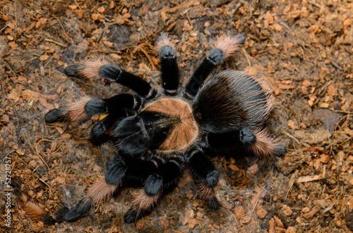Mexican True Red Leg tarantula(Brachypelma emilia)