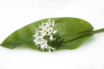 Baerlauch, Allium ursinum,