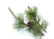 Leinwandbild Motiv Bergkiefer, Kiefer, Pinus mugo