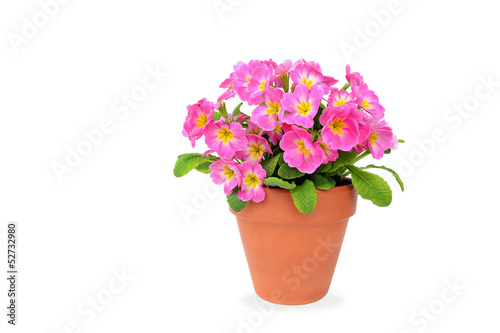 Pink potted primrose isolated on white - Primula