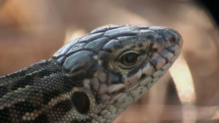 eye Lizard macro