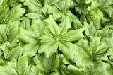 Maiapfel, Podophyllum peltatum