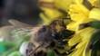Bee beetle macro