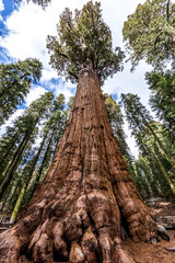 General Sherman tree in Giant sequoia forest