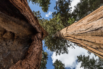 Two tall sequoias