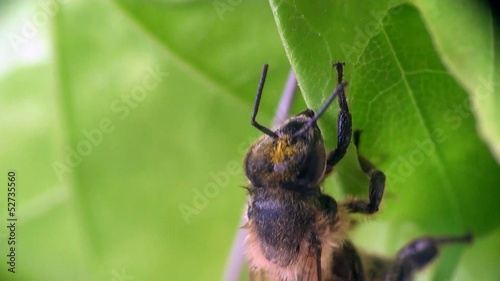 Bee beetle macro