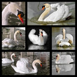 Seven photos mosaic of mute swans (Cygnus olor)