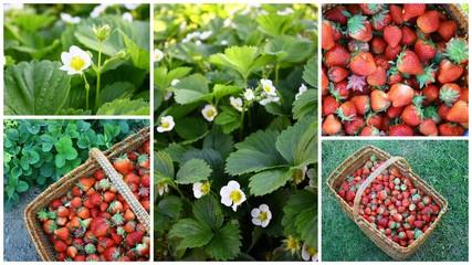 montage de fraises