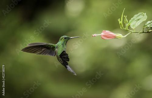 Fotobehang Centraal-Amerika Landen Stripe-tailed Hummingbird