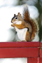 Tree squirrel eating peanut on red railing
