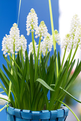 white Muscari botryoides in closeup