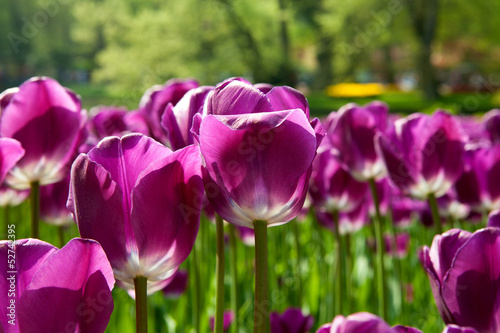 Purple Dutch tulip Tulipa
