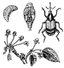 Stages of development of Apple blossom weevil