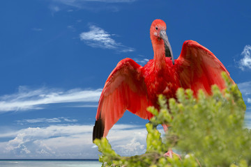 Red Ibis bird on deep blue sky background
