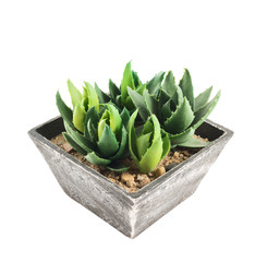 Aloe house plant in a pot, isolated